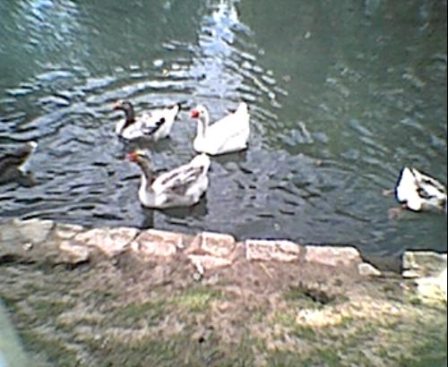geese1.jpg